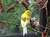 az-vogelzucht-hobby