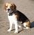 beagle-emil
