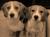 beagle-ostfriesland