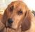 bloodhound-vom-lammetal