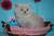 british-shorthair-cats