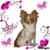 chihuahua-of-little-princess