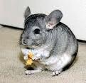 chinchilla-hobbyzucht