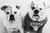 joschi-the-bulldog