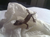 leo-kronengecko