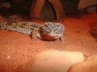 leopardgeckos-brhv