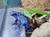 pfeilgiftfrosch-mueller