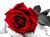 roses-world