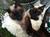 siamkatzen-im-oderbruch