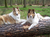 koelsche-collies